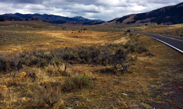 Bateson in Yellowstone